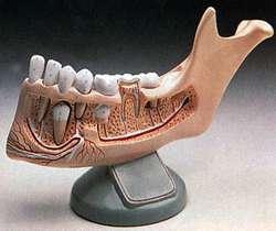 Положение зубов (нижняя челюсть)